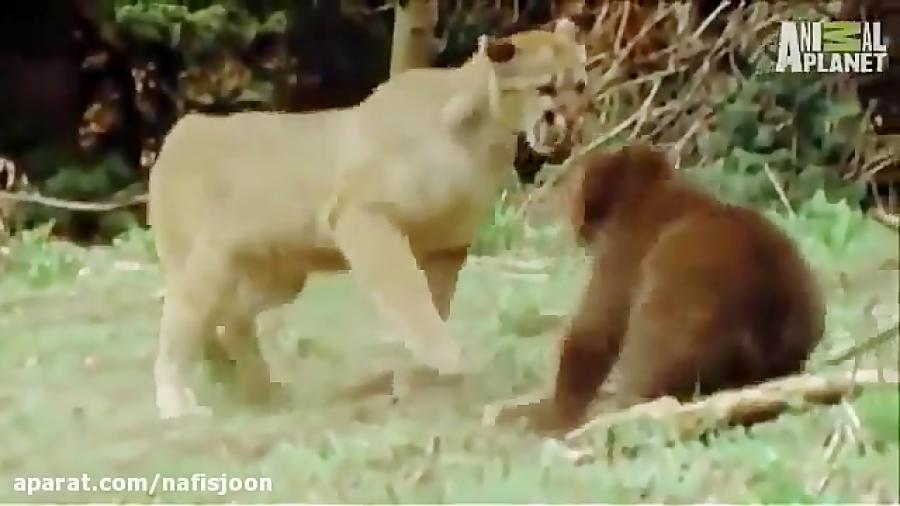 جنگ و جدال شیر کوهی و خرس