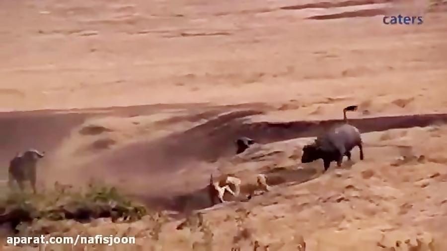 جنگ و جدال گله بوفالو با شیرهای درنده