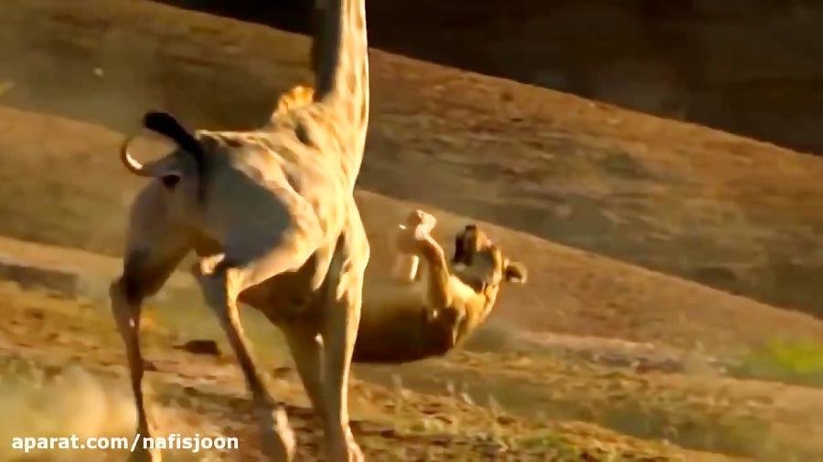 جنگ و جدال زرافه و شیرهای درنده