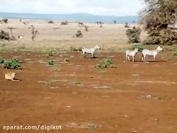 کمین دیدنی شیر برای شکار گورخر