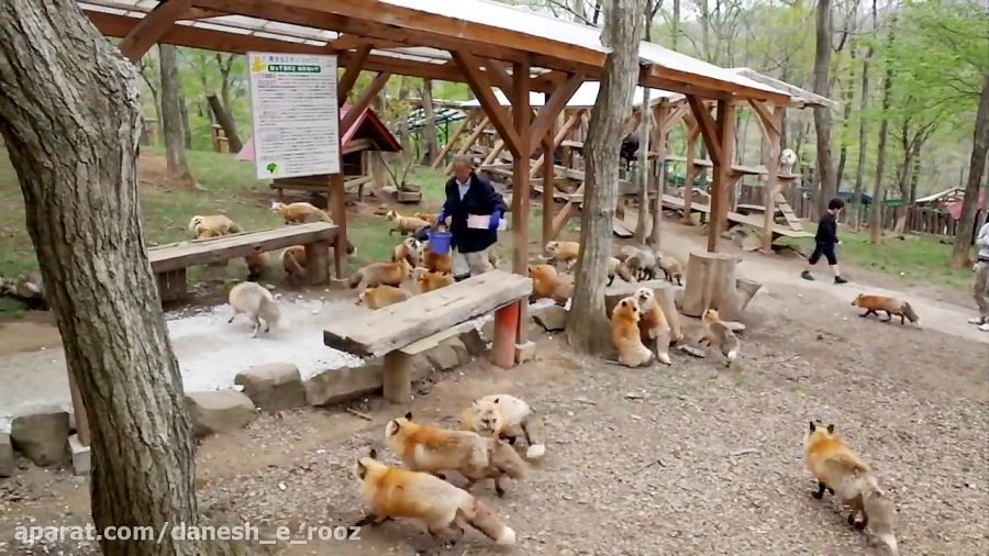 دهکده روباه ها | ژاپن