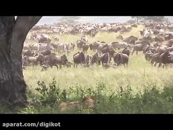 شکار دیدنی گورخر توسط شیر