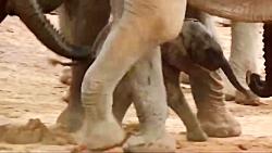 جشن تولد فیل ها برای یک بچه فیل!