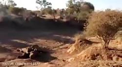حمله شیر به پلنگ - حیات ...