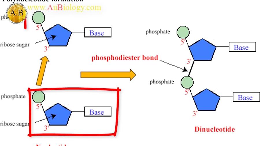 اسید-نوکلئیک-کشف-و-نوکلئوتید-ها-تدریس