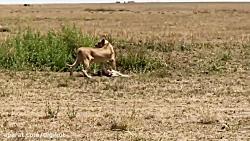 زمین خوردن غزال بدشانس و شکارش توسط شیر