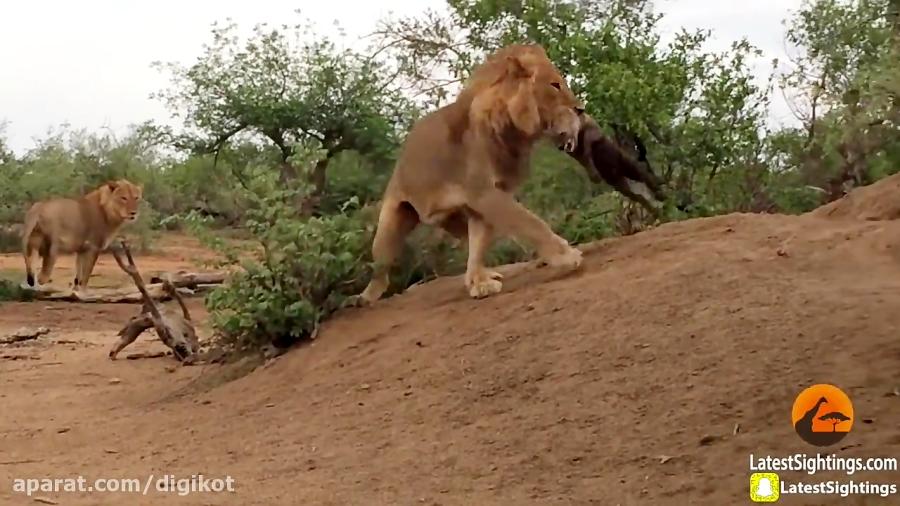 حمله شیرها به لانه کفتار و خوردن توله ها