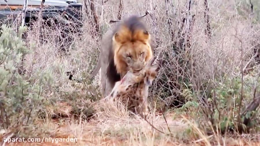 زنده شدن کفتار مرده بعد از شکار