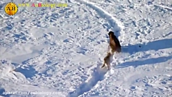 شکار گوساله توسط گرگ