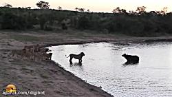 شیرها در انتظار شکار و ...