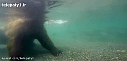ماهیگیری زیر آبی خرس از نمای نزدیک