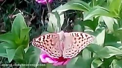 شکار و رقص پروانه در با...