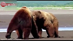 جنگ خرس های گریزلی