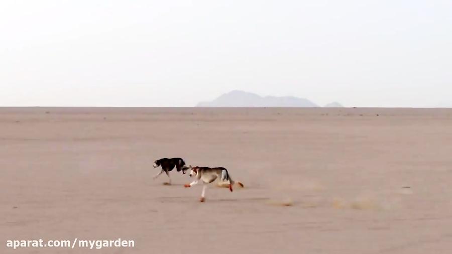 سرگرمی بیرحمانه - رها کردن آهو و بدنبالش سگ های شکاری