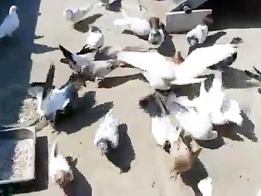 کبوتر پرشی