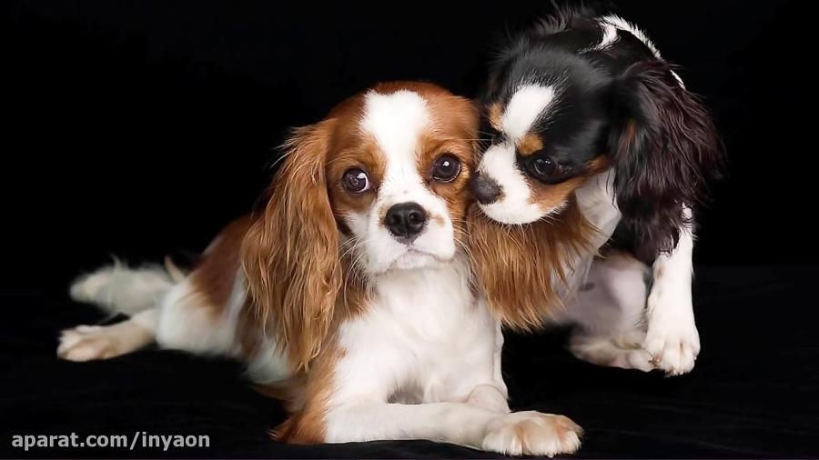 بهترین سگ ها برای اقامت در آپارتمان
