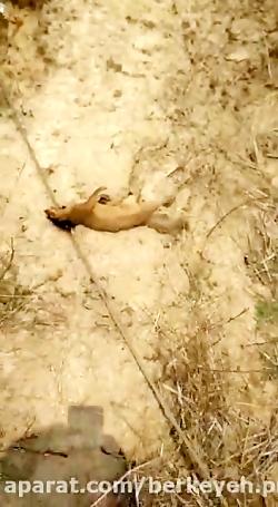کشته شدن حیوانات بر اثر افتادن کابل برق