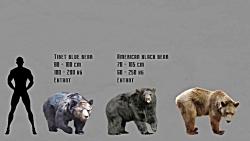 مقایسه سایز خرس های امر...