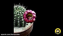 تایم لپس دیدنی از باز شدن گل های کاکتوس رنگارنگ