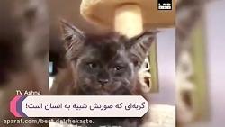 گربه انسان نما Top 10 farsi