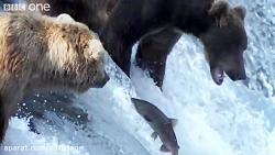 شکار گروهی ماهی ها توسط خرس های گریزلی