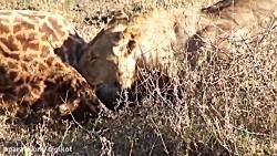 دریدن زرافه توسط شیرهای گرسنه