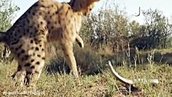 نبرد مار و گربه وحشی