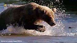 شکار ماهی سالمون توسط خرس