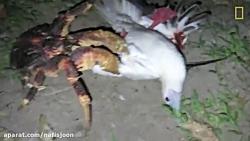 خرچنگ غول پیکر که پرنده شکار می کند!
