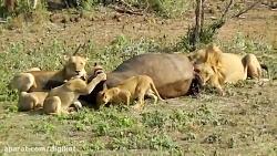 شکار و دریدن بوفالو توسط شیرها