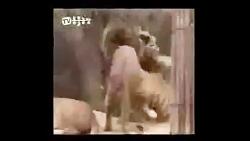 کشته شدن شیر توسط ببر