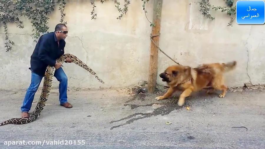 جنگ سگ شکاری و مار پیتون