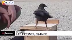 جمع آوری فیلتر سیگار توسط کلاغ ها در فرانسه