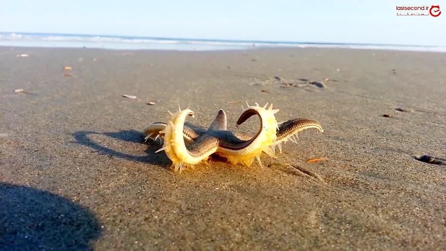 ستاره دریایی درحال قدم زدن در ساحل!