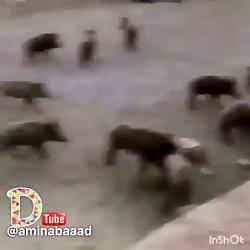 حمله وحشیانه تتلو به گله گراز!!!