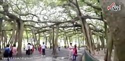 درخت عجیبی که به تنهایی یک جنگل است