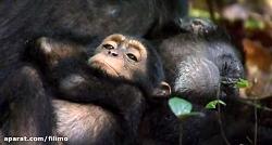 آنونس فیلم مستند «شامپانزه»