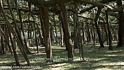 درخت عجیبی که به تنهایی یک جنگل است! وسیع ترین درخت