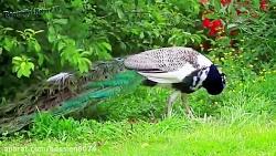 این که میگن طاووس عروس پرنده هاست به این دلیله ببین!!