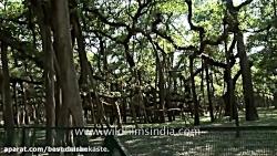 درخت عجیبی و بزرگی که خود به تنهایی یک جنگل است