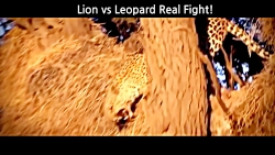 حمله شیرها به پلنگ