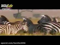شکار آکروباتیک گورخر توسط شیر