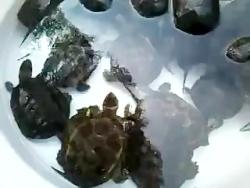 لاکپشت های من برای مسابقه