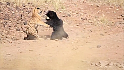 جنگ تن به تن ببر و خرس