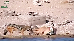 حمله شغال به حیوانات در...