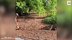 حرکت دیوانه وار یک جوان با تمساح غول پیکر