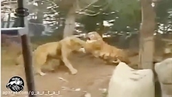 نبرد ببر با شیر