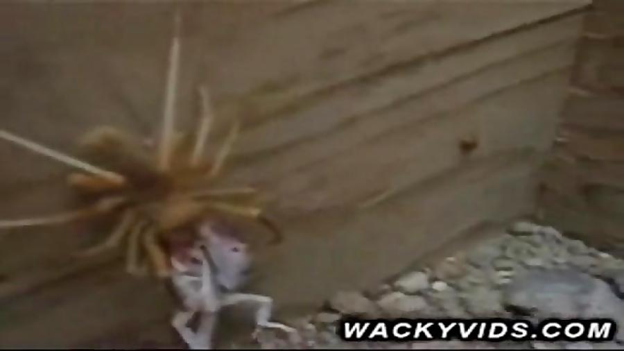 شکار مارمولک توسط عنکبوت شتری