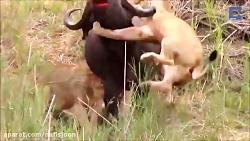 نبرد شیرهای وحشی با حیو...