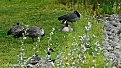 استراحت اردک ها در طبیع...